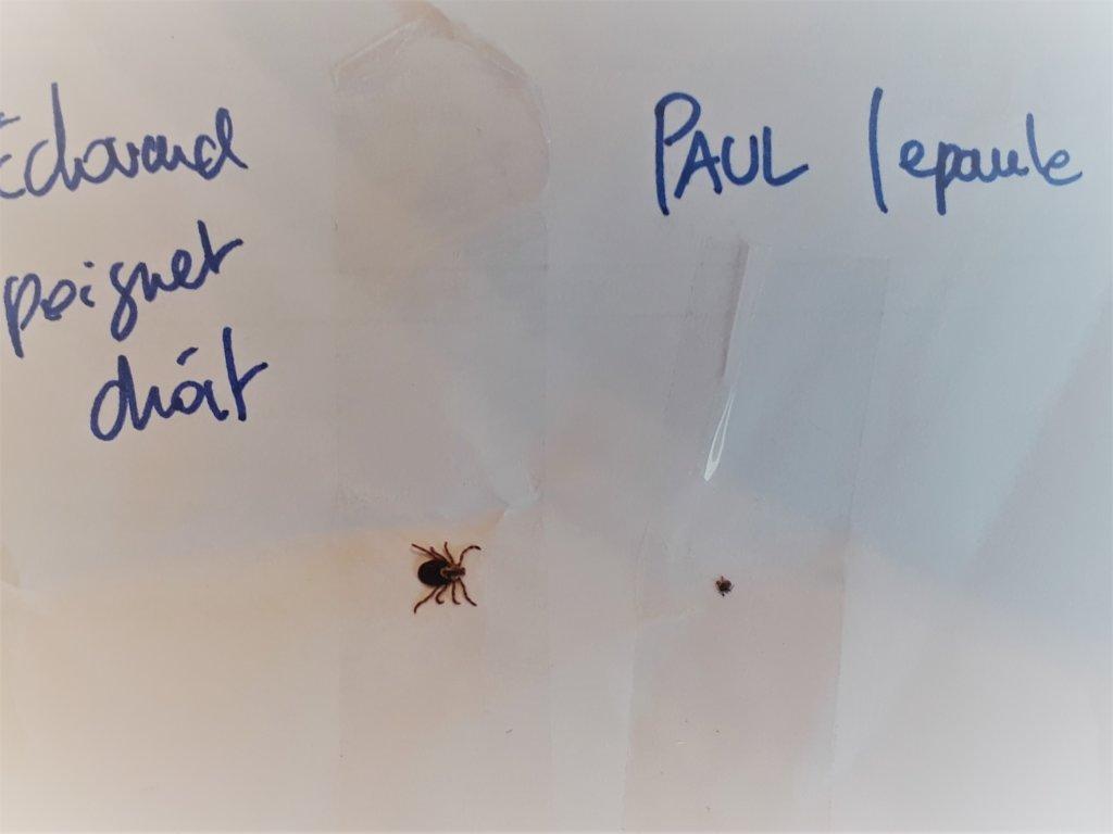 Photo de d'une tique adulte et d'une tique nymphe, scotchées sur un papier, prêtes à être envoyées au projet CITIQUE